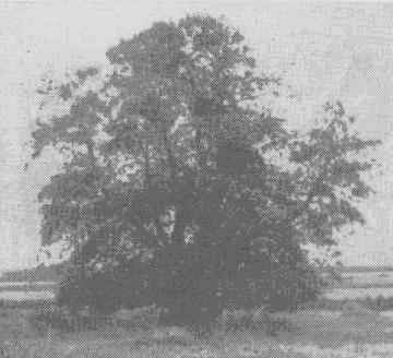 Липа, сохранившаяся до наших дней на месте б. усадьбы Одоевских в с. Николаевском Юрьев-Польского района