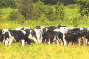 Молочное животноводство в СПК Красногорбатский