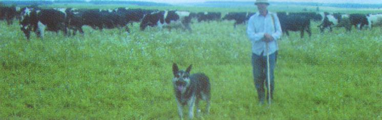 Молочное животноводство в Суздальском районе