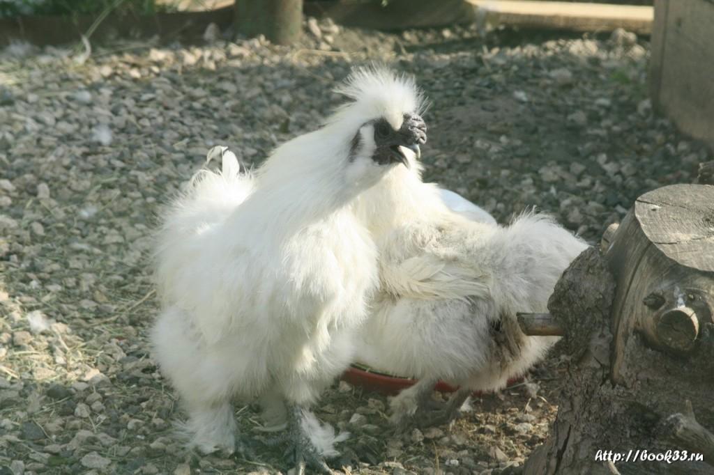 Спасо-Преображенский монастырь Мурома. Необычные курицы