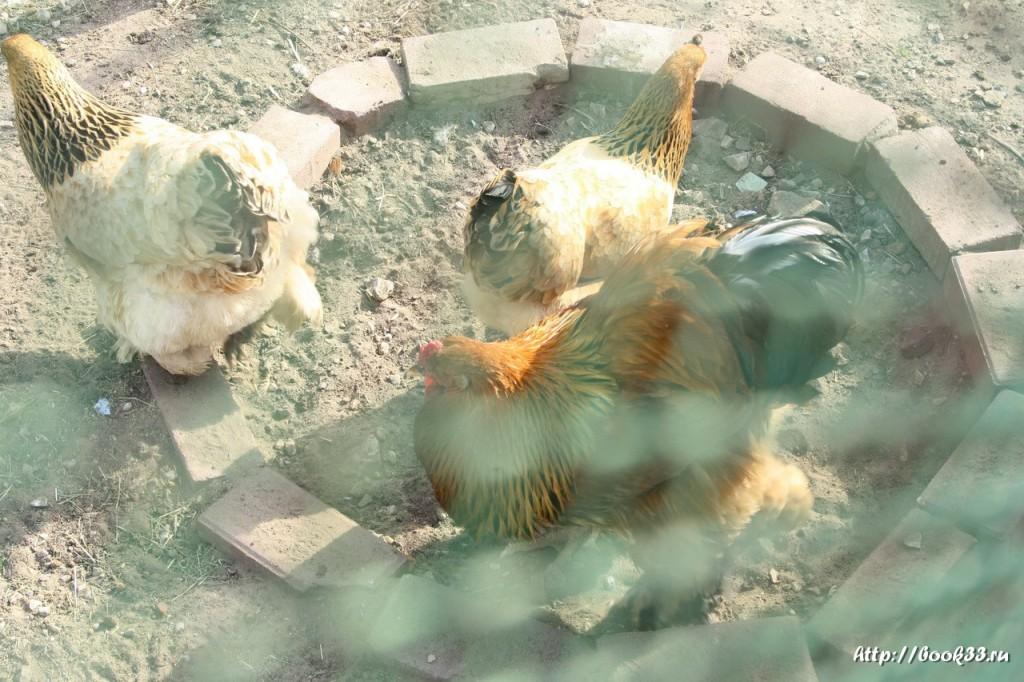Спасо-Преображенский монастырь Мурома. Курицы обыкновенные