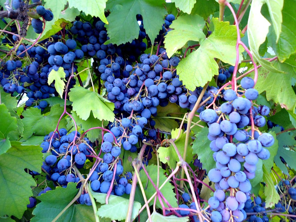 Виноград муромец  описание